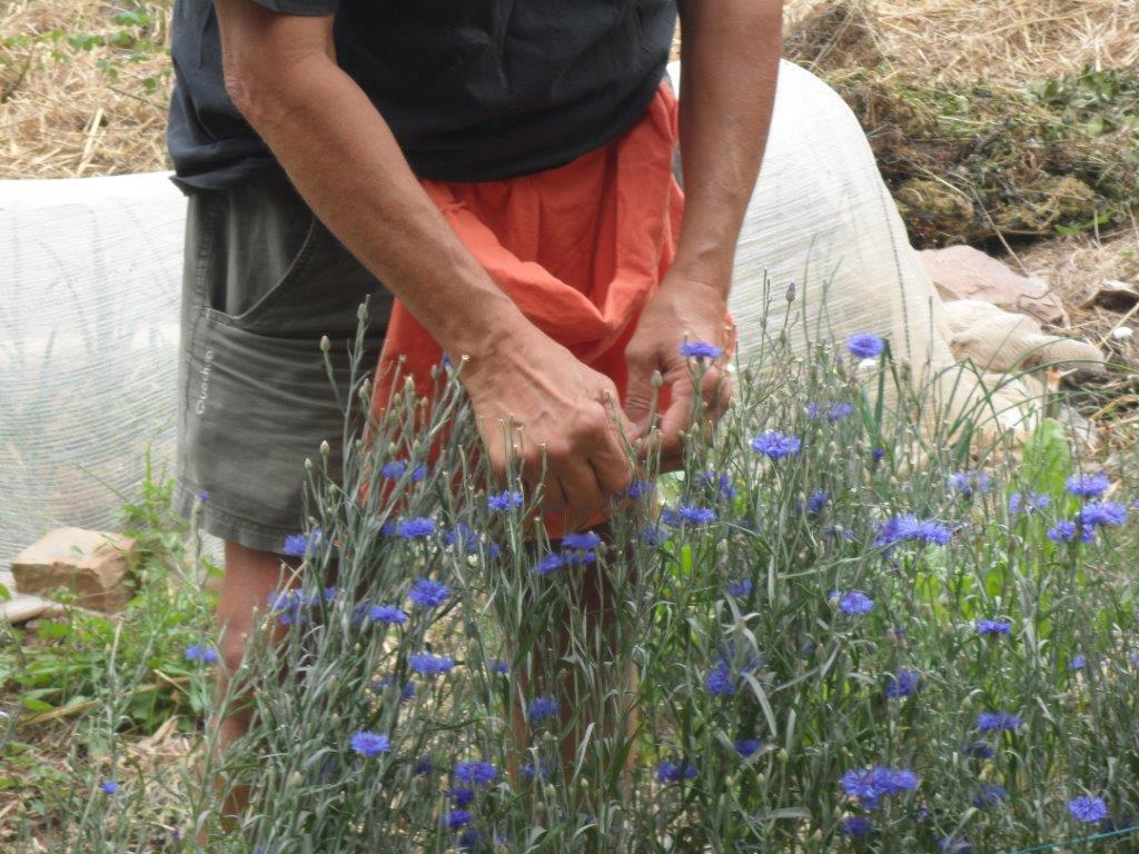 La récolte des bleuets